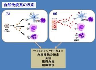自然免疫系の反応
