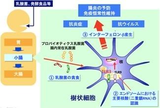 インターフェロン-β